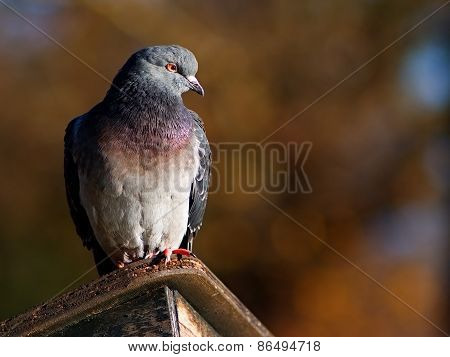 Pigeon sitting on the wooden shelter