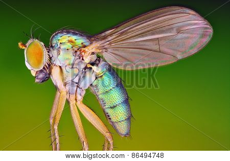 Very sharp and detailed macro photo of small metallic fly