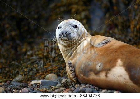 Seal on the Skomer Island beach