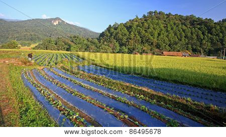 Farmer At Vegetable And Rice Farm In Chiang Mai