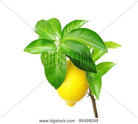 Lemon Tree With Fruit.