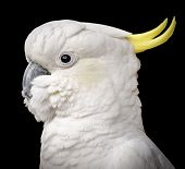 foto of cockatoos  - Stunning portrait of a cockatoo parrot bird against a black background - JPG