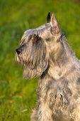 stock photo of schnauzer  - Portrait of beautiful silver standart schnauzer dog - JPG