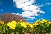 foto of adonis  - Yellow flowers  - JPG