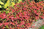 pic of begonias  - Begonia semperflorens a popular summer red bedding plant often used in flower borders - JPG