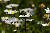 stock photo of daisy flower  - White daisy flowers - JPG