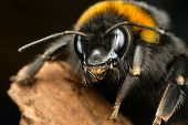image of bumble bee  - Detail of bumble bee taken with macro lens