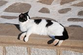 picture of domestic cat  - Greek cats  - JPG