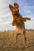 image of splayed  - Golden retriever leaping with orange ball in front of face