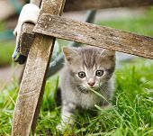 picture of fanny  - fanny grey cat  sin  on   green grass - JPG
