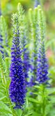 picture of spike  - Spikes of blue Speedwell bloom in a garden - JPG
