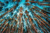 picture of coniferous forest  - Canopy Of Tall Pine Trees - JPG