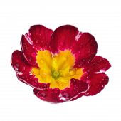 foto of primrose  - pink Primula Primrose with dew drops isolated white background - JPG