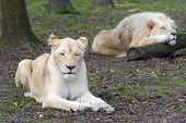 foto of african lion  - White South African lion and lioness  - JPG