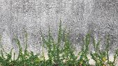 pic of creeper  - Green Creeper Plant growing on old concrete wall - JPG