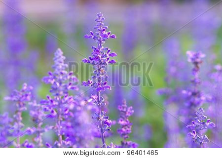 Beautiful spring background with Salvia farinacea Benth