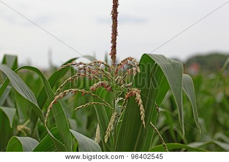 Male Flowers Of Maize