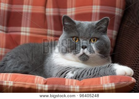 British Shorthair Cat On The Chair