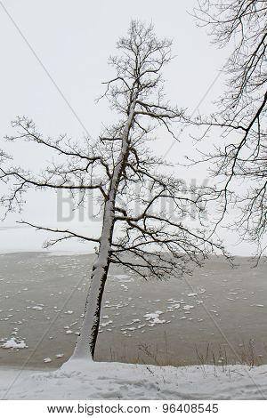 A Falling Tree In Lagoon