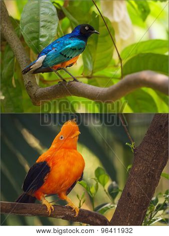 Collage of colorful blue and orange birds.