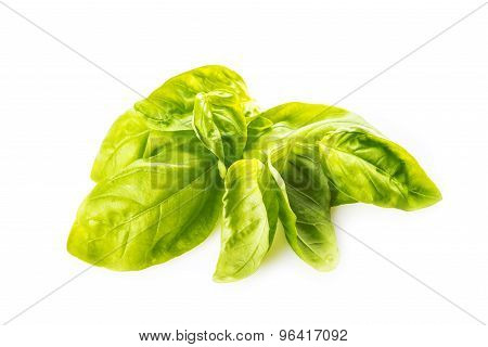 Basil Leaves Isolated On A White Background