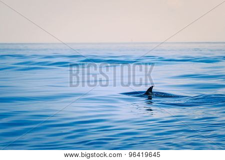 Fin of a shark in the high sea