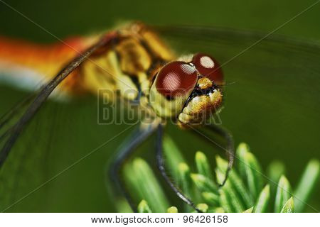 Portrait Of A Dragonfly