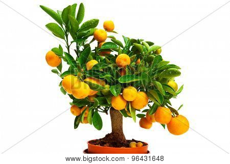 tangerines on a tree on a white background