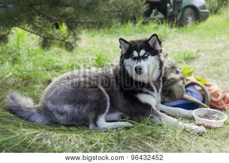 Beautiful husky poses