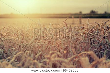 Vintage styled photo of golden wheat field in the sunset