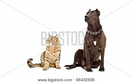 Staffordshire Terrier and cat Scottish Straight