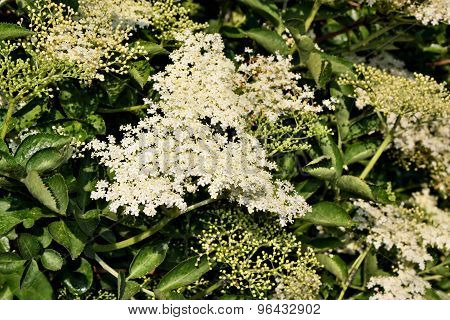 Elderberry Flowers