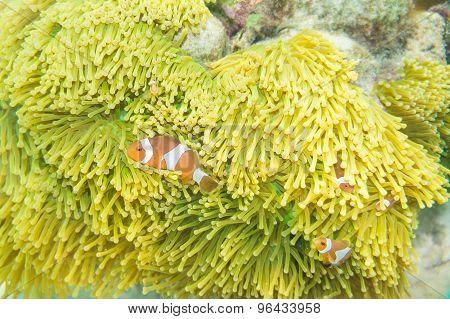 Nemo Fish In Front Of Their Anemone Home.
