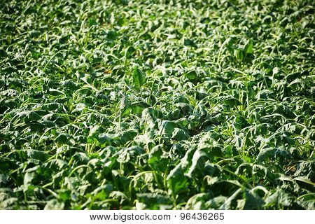 Wilting sugarbeet
