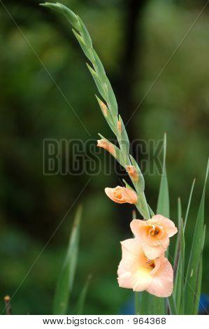 Blooming Gladiolus