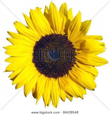 Yellows Sunflower Flower