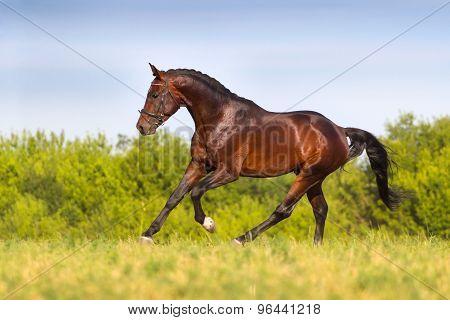 Bay stallion trotting in spring field
