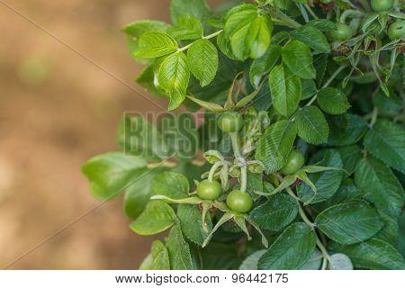 Green Rose Hips/ Dogrose/ Briar