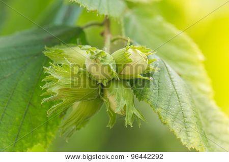 Green Unripe Hazelnuts