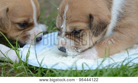 Picture of a Cute Amstaff dog puppy drinking milk