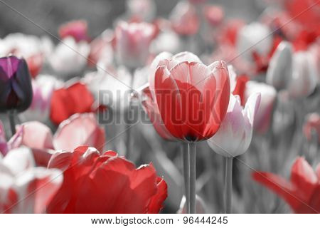 Tulips On Toned Gray Background
