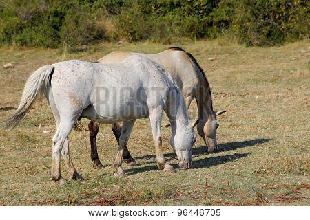 Horse Lipizzaner
