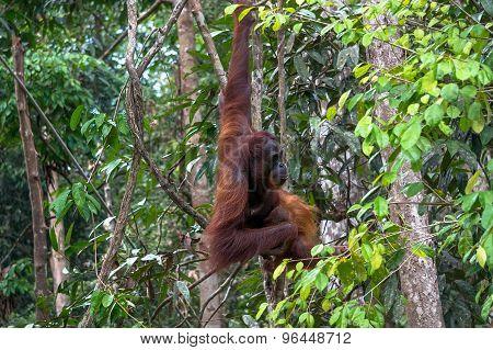 Orangutan With A Baby