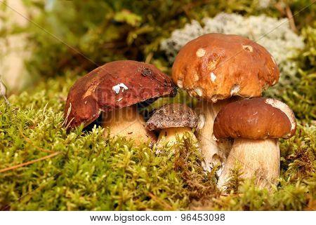 Mushrooms Bolete, fungus in the wild , Boletus pinophilus.
