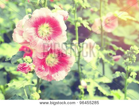 Hollyhock Flower In Park : Color Process