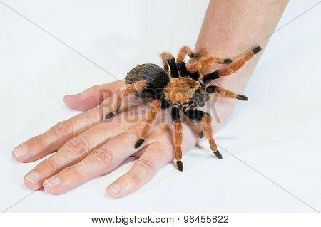 Tarantula on Hand