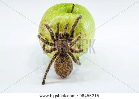 Tarantula on apple