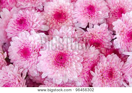 Closeup Of Chrysanthemum  Banch