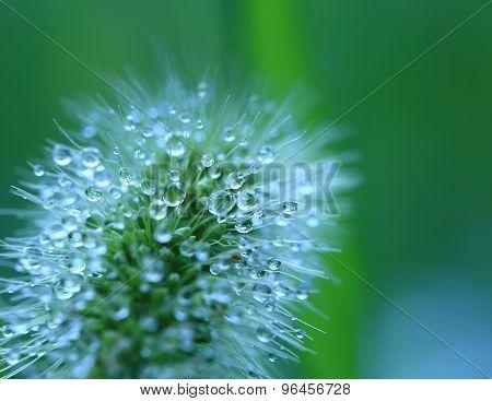 Water droplets on Grass flower - macro.