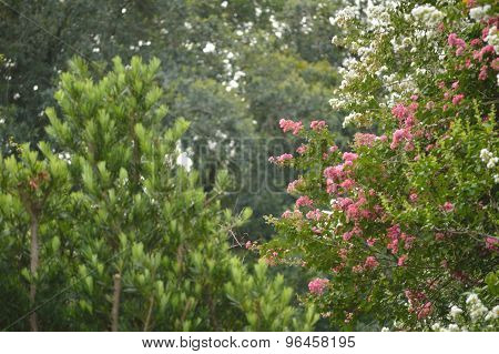 Crepe Myrtle Trees And Japanese Yew Tree